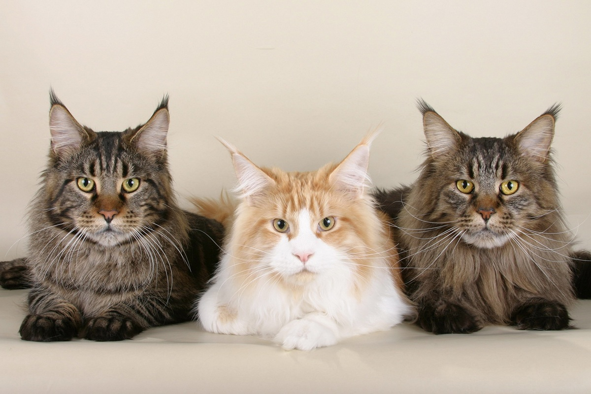 Cats – Five Top Breeds For Christmas